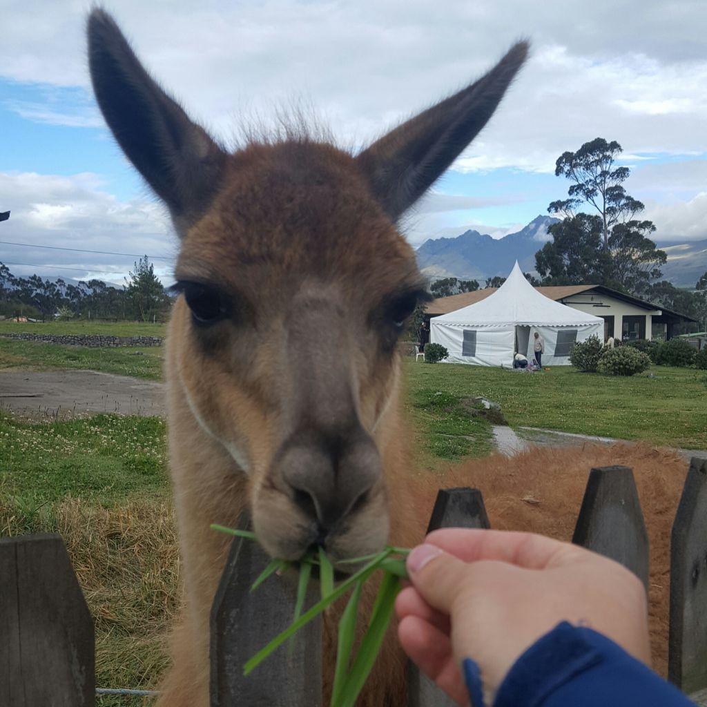 Lama wird mit Grünzeug gefüttert