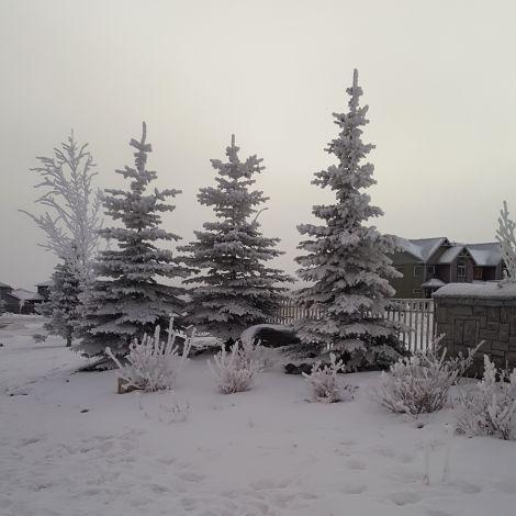 Nadelbäume im Schnee in Alaska