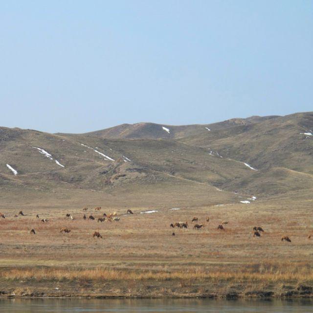 Steppe mit einer Herde Kamele