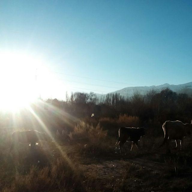 Straße Kühe Kirgistan