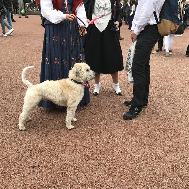 Hund mit Halsband in den Norwegenfarben rot, blau und weiß
