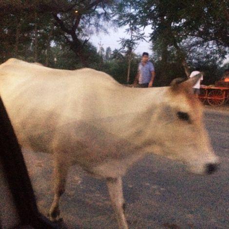 Eine Kuh in den Straßen von Hisar