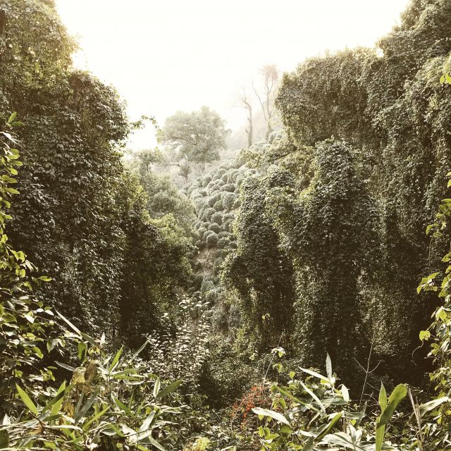 Die Teeplantagen von Longjing