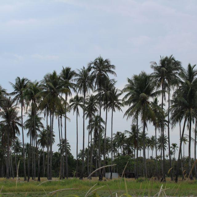 Das Bild zeigt einen Palmenwald.