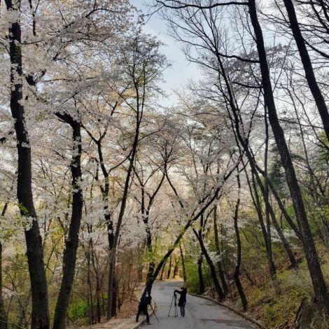 Kirschblüten auf dem Campus der Kyung Hee Universität