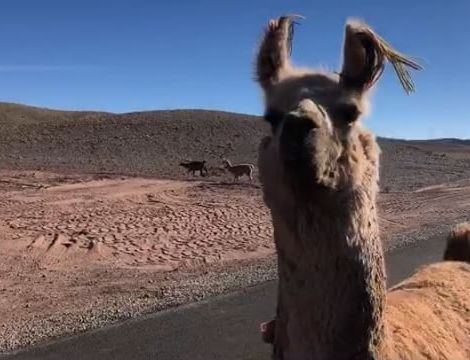 Lama-Alarm mitten in der Atacamawüste 🌵• #erlebees #chile #atacama…