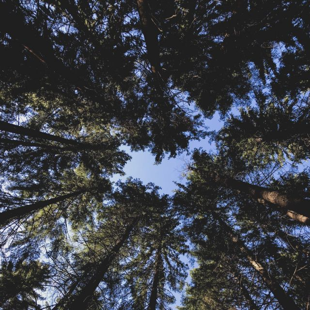 hohe Nadelbäume