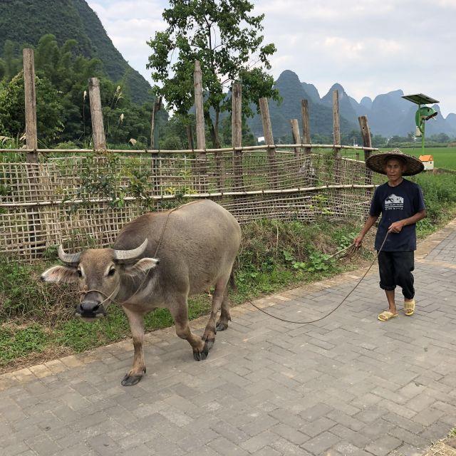 Kuh mit Bauer