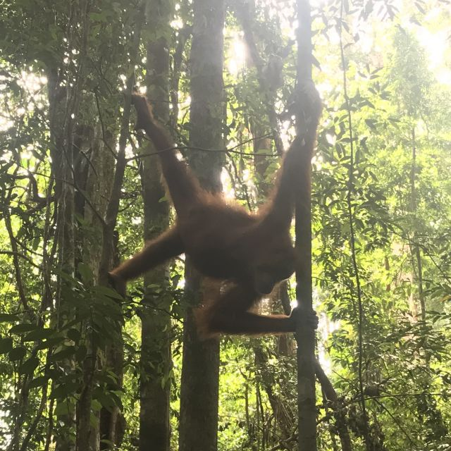 Ein weiblicher Orang Utan in Sumatras Dschungel