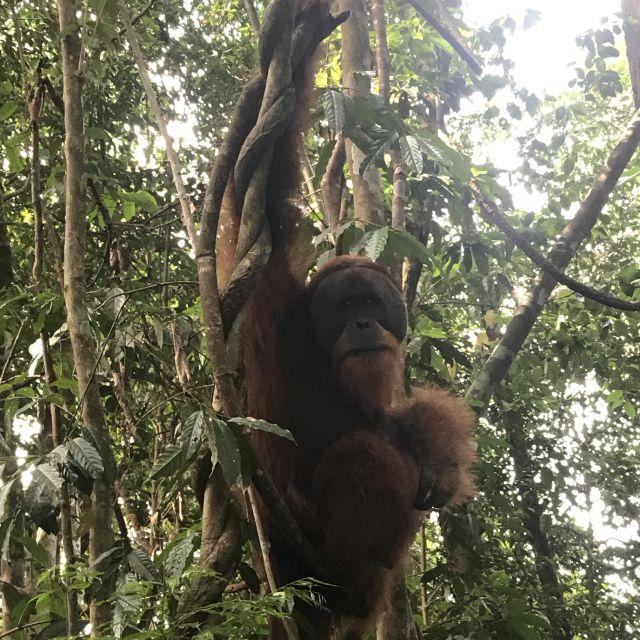 Ein männlicher Orang Utan in Sumatras Dschungel