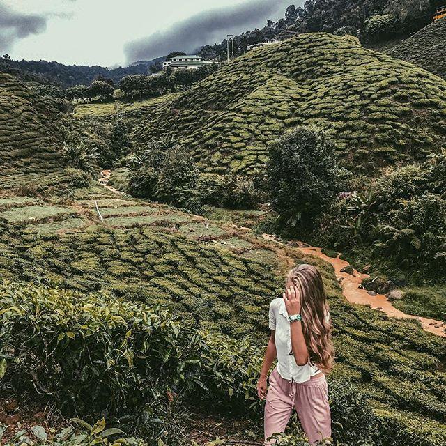 Cameron Highlands, Teeplantage