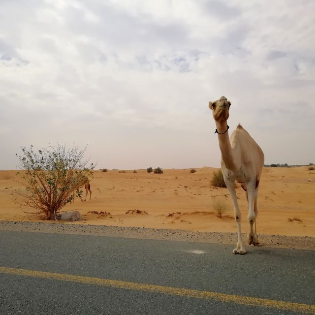 Kamel am Straßenrand