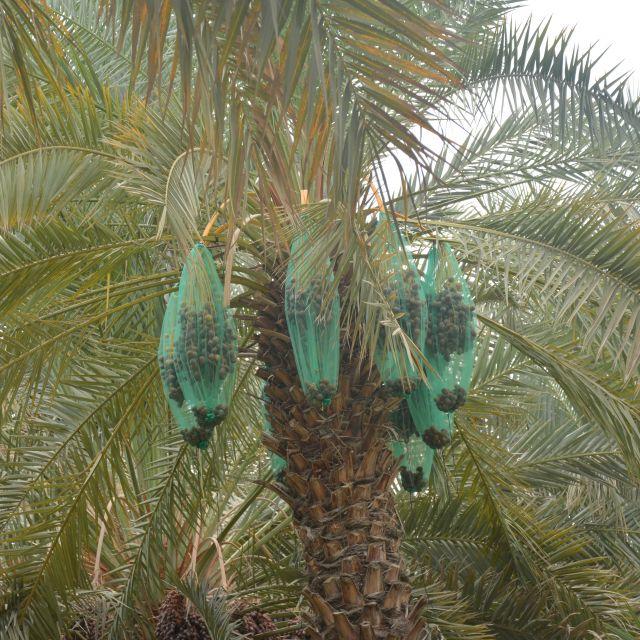 Eine Dattel-Palme in der Al Ain Oase.