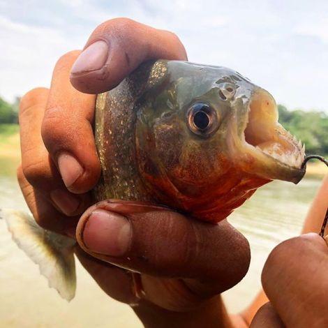 Eine Hand hält einen Piranha.
