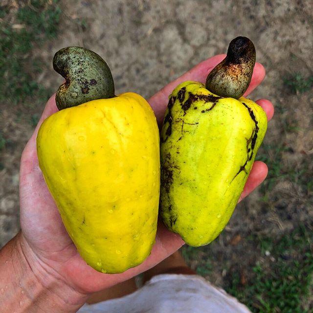 Eine Hand hält zwei Cashewnussäpfel.