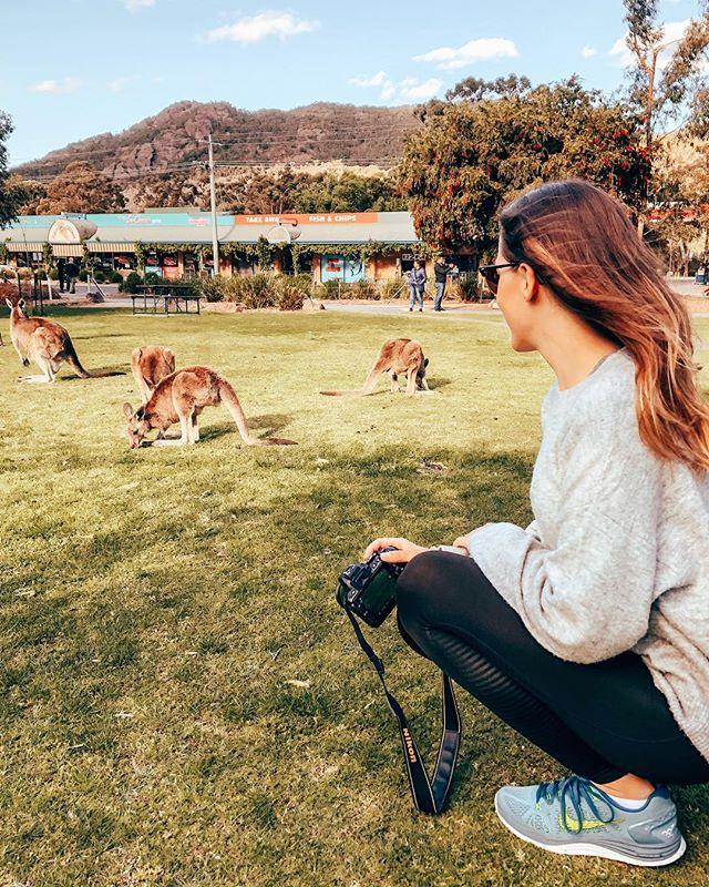 Kangaroos 🦘🦘🦘 #grampians #kangaroo #erlebees