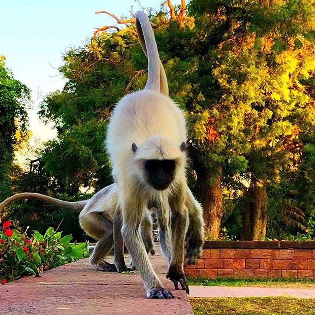 Ein weißer Affe klettert auf einer Mauer in Indien.