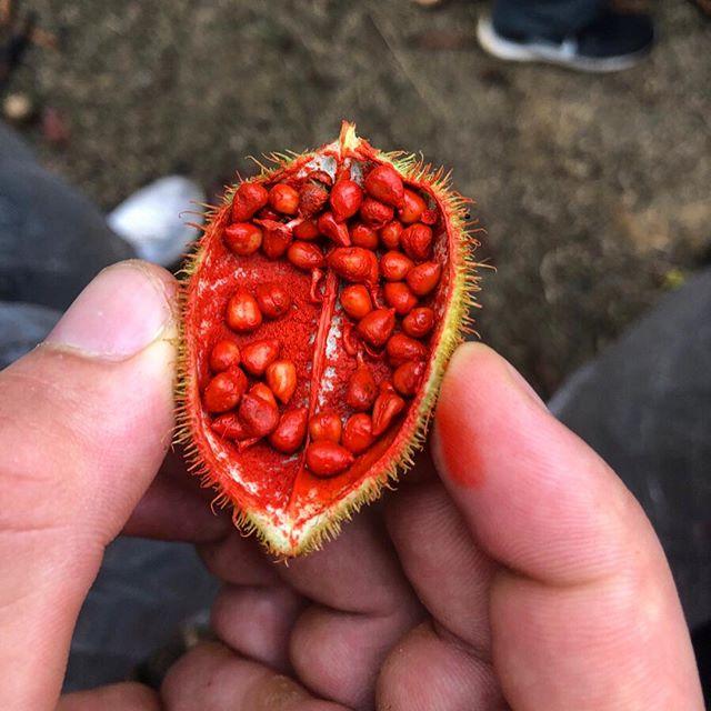 Eine Hand mit einer knallroten brasilianischen Frucht.