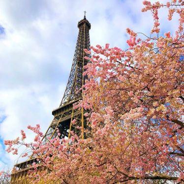Ein blühender Kirschbaum vor dem Eifelturm in Paris.