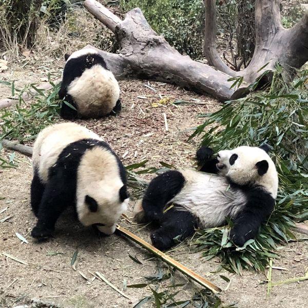 Pandas beim Frühstück