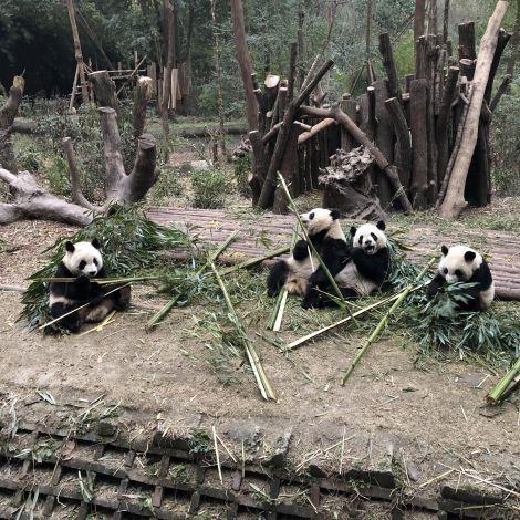 Pandas fleißig am Essen