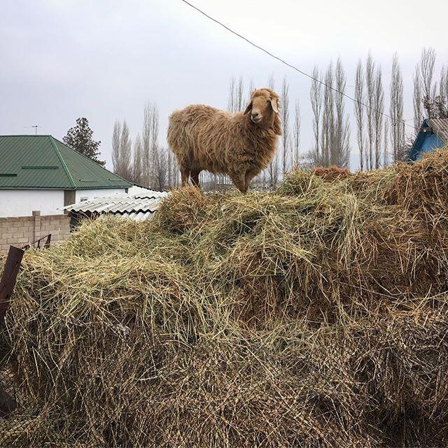 Ein Schaf auf einem Misthaufen in Kirgistan.
