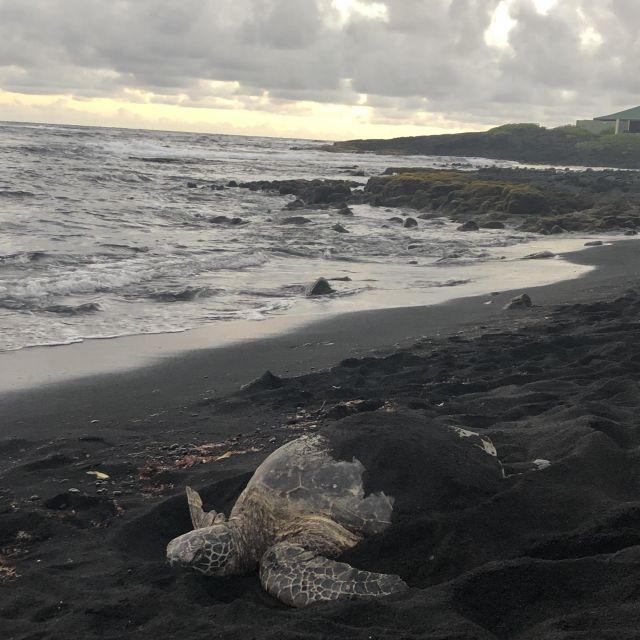 Schildkröte am Punaluʻu Black Sand Beach