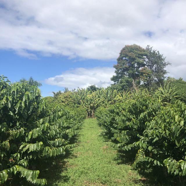 Kaffeeplantage, Kona