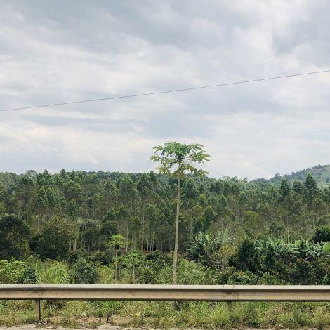 Baum vor grüner Landschaft in Uganda