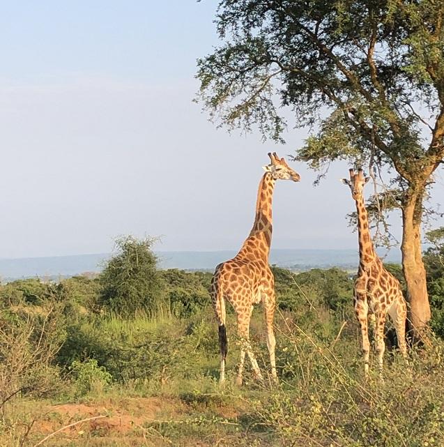 Löwen und Öl: Der Murchison Falls National Park