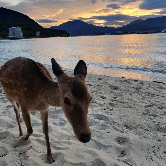Auf der Insel Miyajima mit einem Reh am Strand