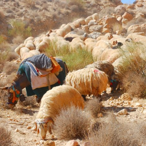 Vorbeiziehende Schafherde eines Beduinen (auf arabisch بدوي badawī für…
