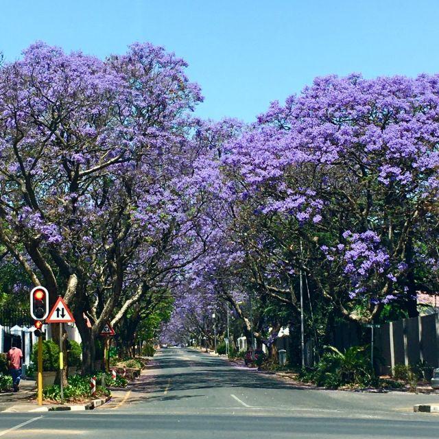 Es ist die Zeit des Jahres, in der Johannesburg in violett erstrahlt. Denn im…