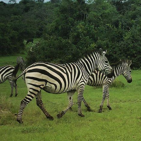 Ich glaub', mich tritt ein ... Zebra? 🦓…