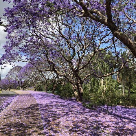 #Jacaranda Season ist die mit Abstand schönste Jahreszeit an der University of…