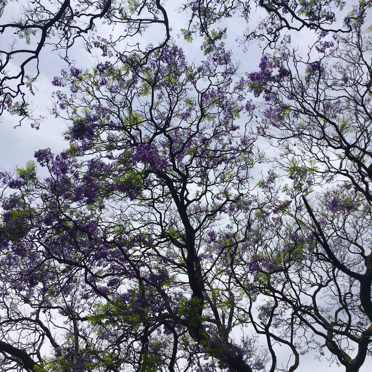Die Jacaranda-Bäume, von denen ich euch schon einmal erzählt habe, verlieren…