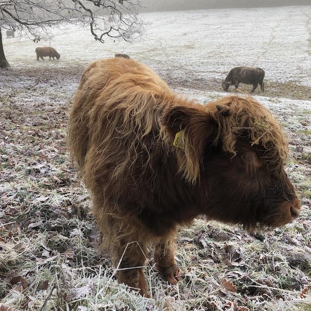 Highland Cows im Pollok Park