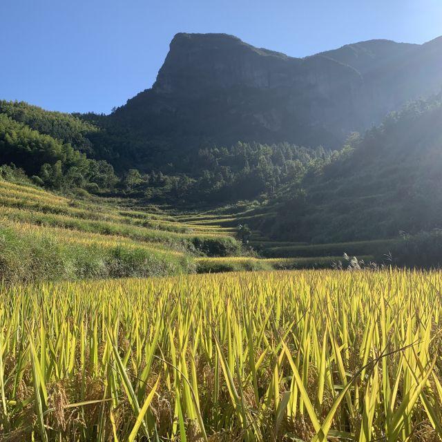 Reisfelder in Taizhou, China