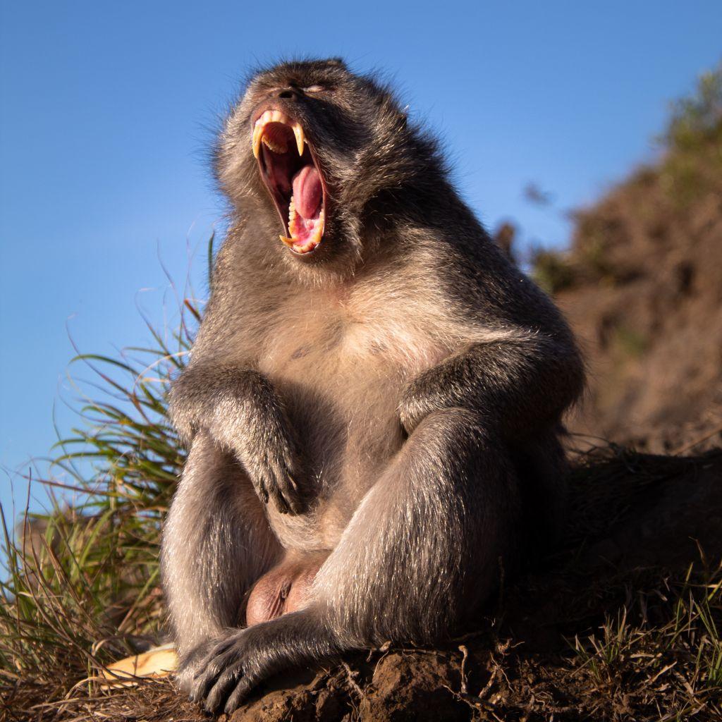 Ein Affe zeigt seine Zähne.