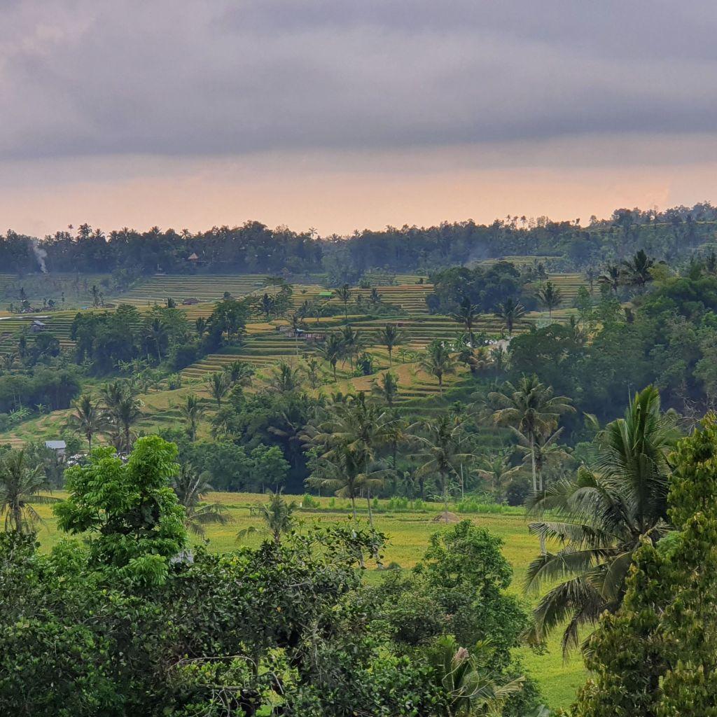 Reisfelder in Nord Bali.