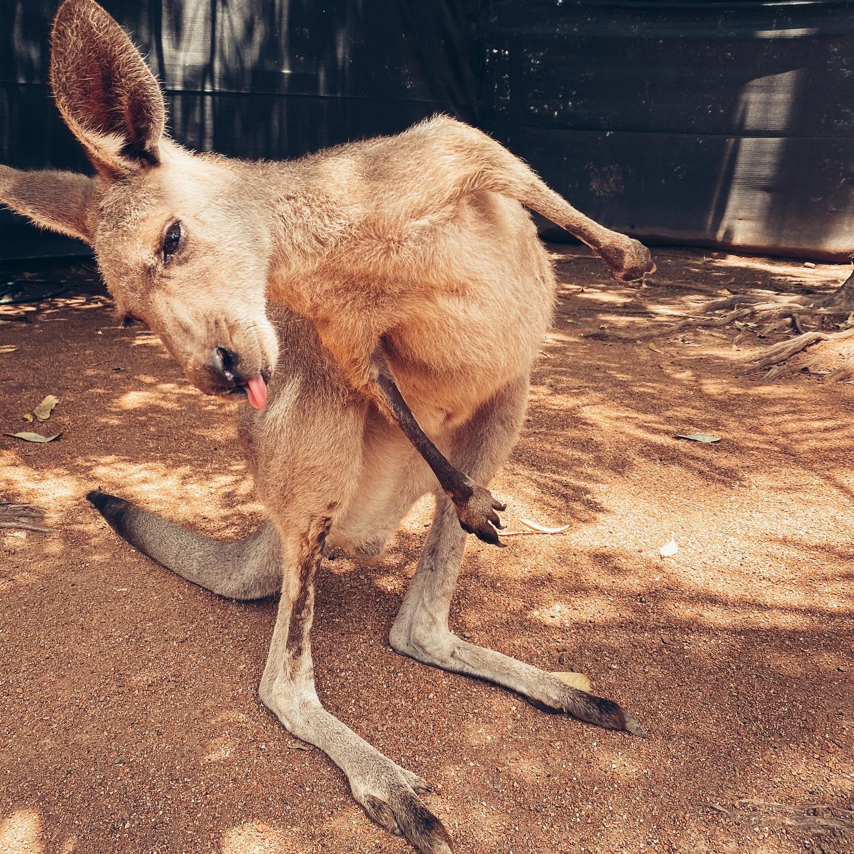 G'day mate! 🦘 Paar Fun Facts zu Kängurus: Sie können nicht schwitzen,…