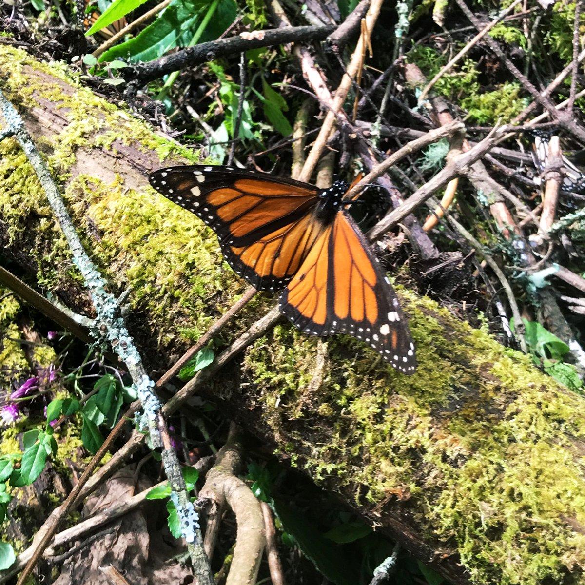 Bin überglücklich, noch die Saison der Monarchfalter (mariposas monarcas) in…
