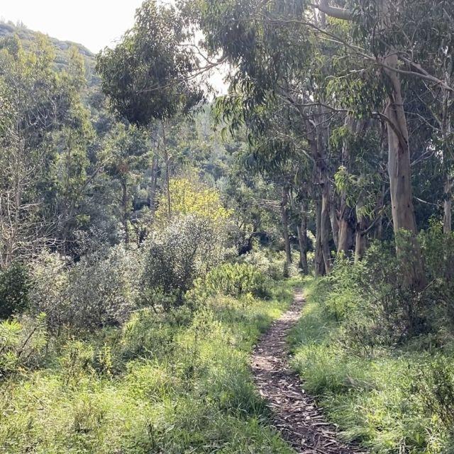 Trampelpfad in der Natur mit Eukalyptusbäumen