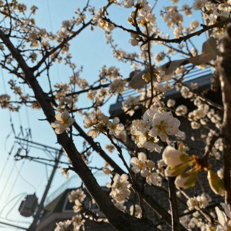 Die ersten Frühlingsboten sind in #Seoul in Gestalt der strahlenden…
