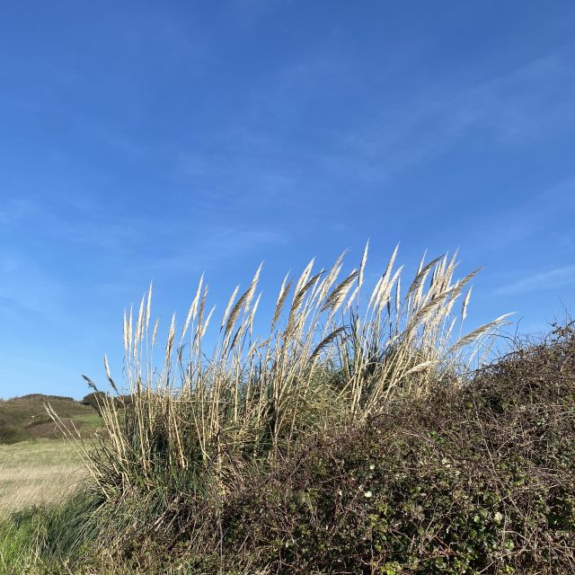 Dünengräser vor blauem Himmel