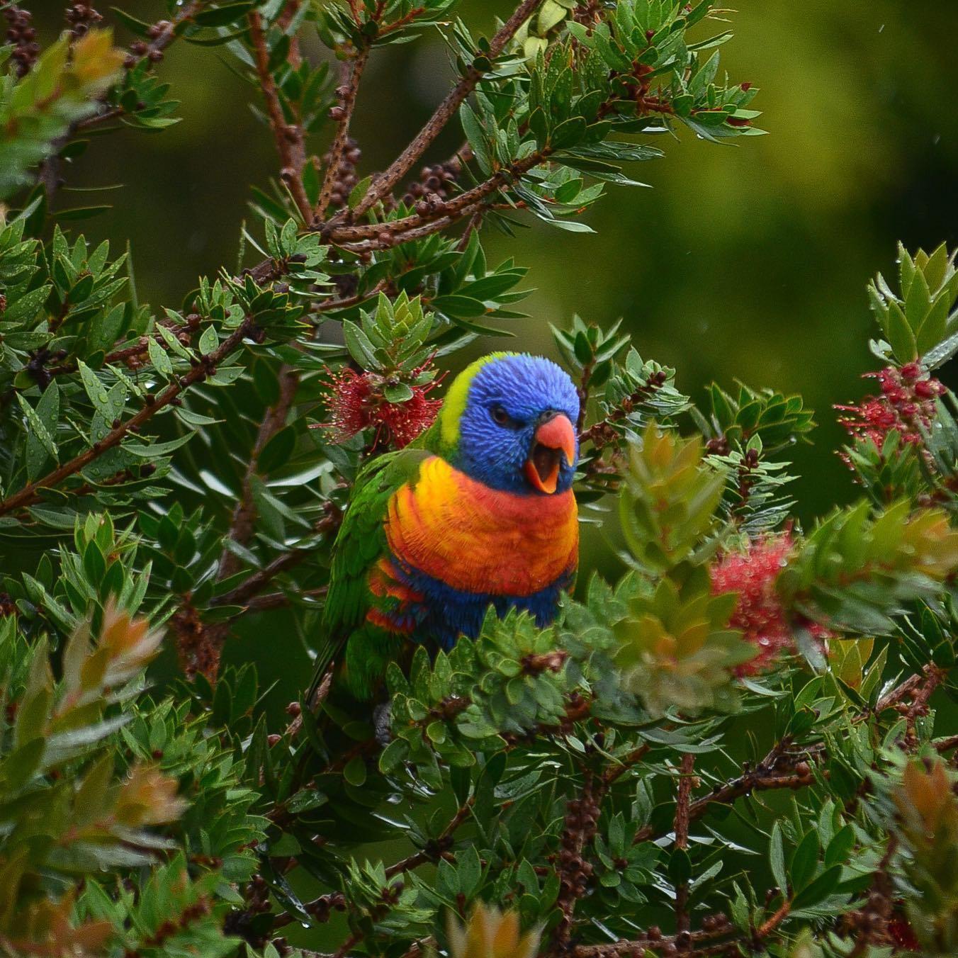Moin Nachbar! Dieser Rainbow Lorikeet hat es sich bei mir im Garten gemütlich…