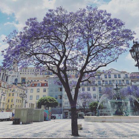 Rund um den Rossio blühen jetzt die violetten Jacaranda-Bäume und machen den…
