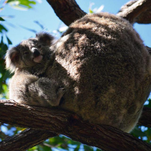 Koalabären im Baum.