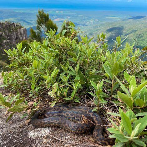 Just a Spotted Python enjoying the view 🐍 Ausgewachsen wird sie knapp einen…