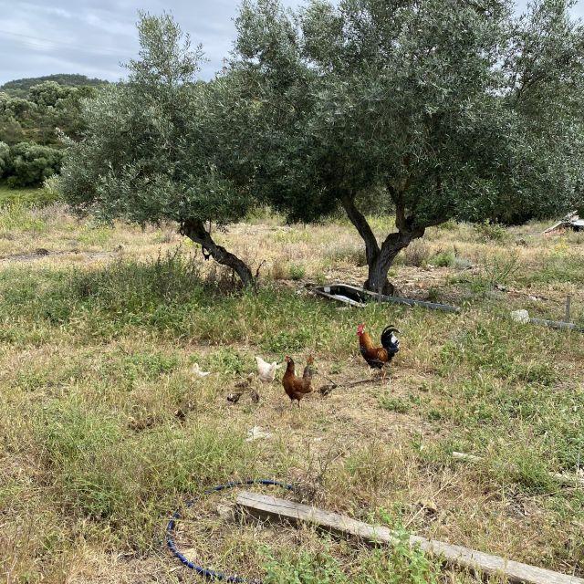 Hühner im Garten.